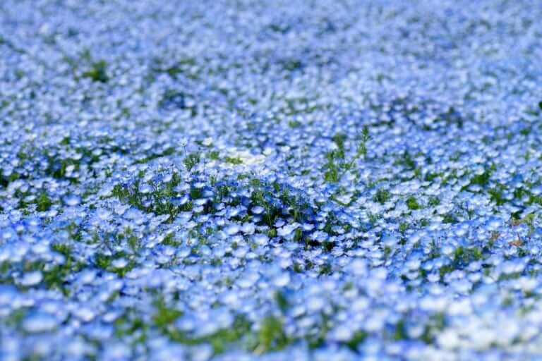 【鶴見区】まるで青色のカーペット!鶴見緑地公園のネモフィラが見頃です!
