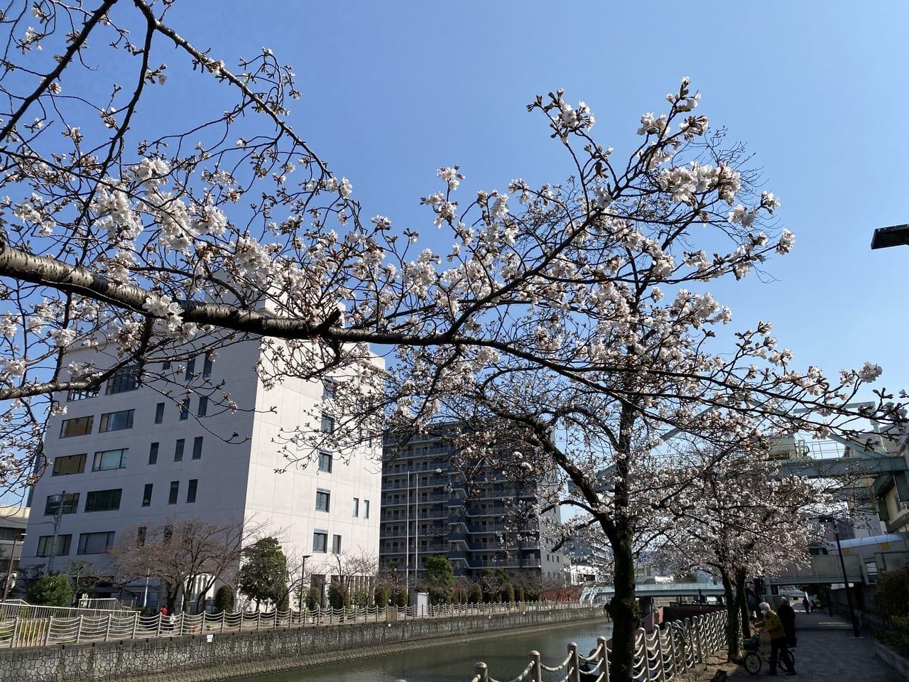 城北川の桜